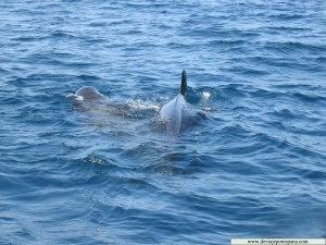 Delfines-nadando-en-el-mar